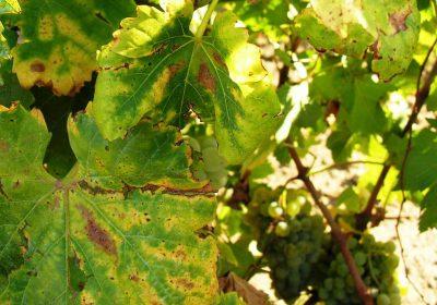 Лечение фузариоза винограда