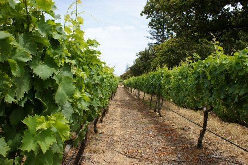 Выращивание виноградной лозы