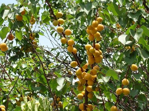 жердела - дикий абрикос