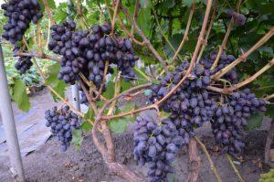 Описание сорта винограда Каталония