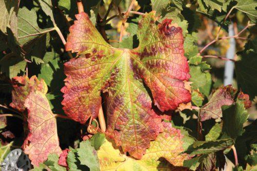 Виноградная краснуха