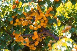 посадка и уход за абрикосом лель