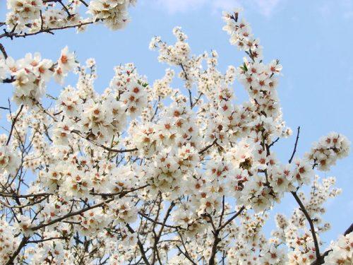абрикос весной