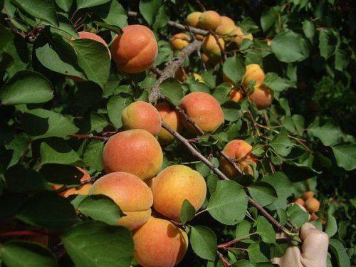уход за абрикосами