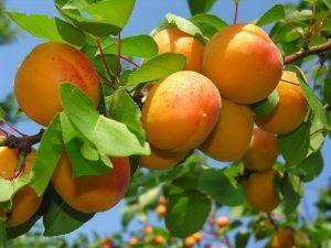 подкормка абрикоса летом