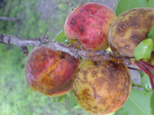 монилиоз абрикос