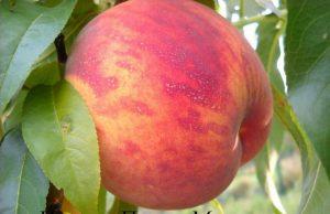 руководство по выращиванию и уходу персика