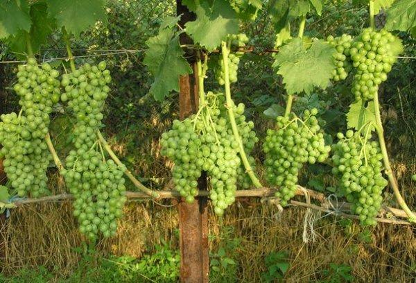 виноград Элегант