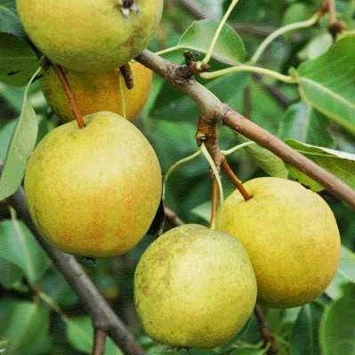 Особенности выращивания самоплодных груш