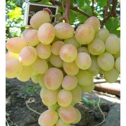 Уход за виноградом Княгиня Ольга