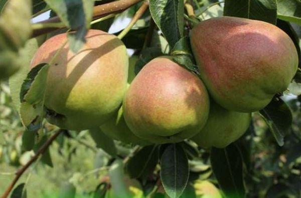 Груша елена сочные сладкие плоды