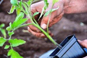 посадка помидор на рассаду в таблетки