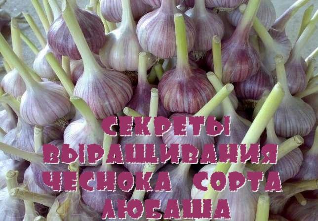 Секреты выращивания чеснока сорта Любаша