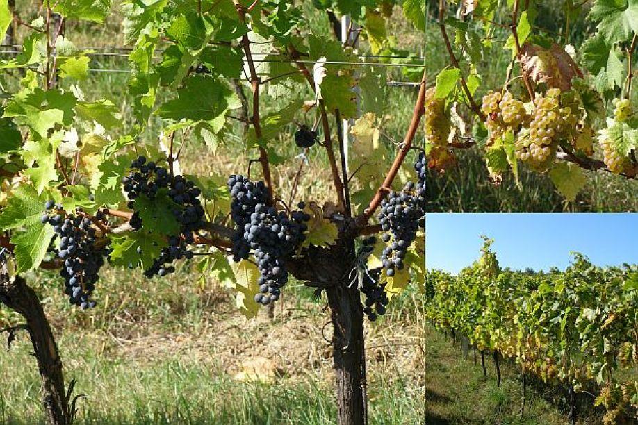 нужно ли обрезать молодые побеги винограда летом