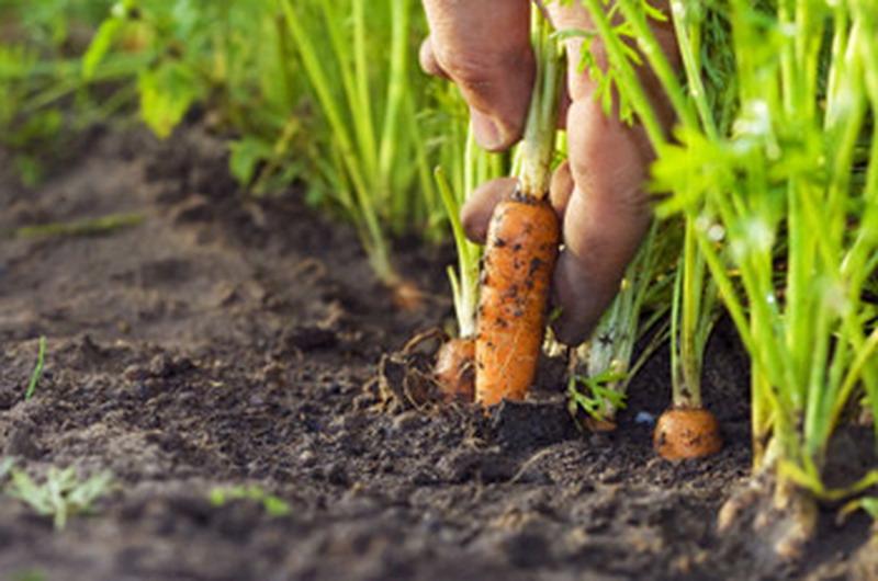 какая почва нужна для моркови