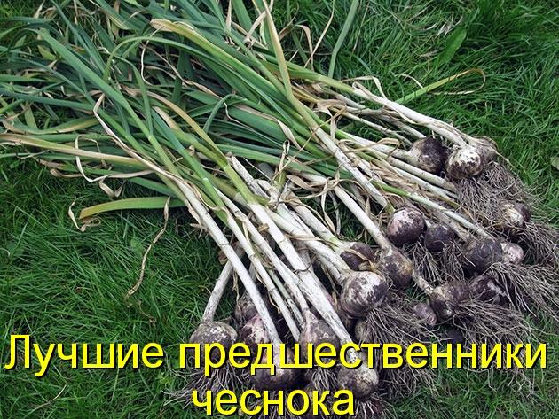 Что сажать после лука и чеснока на следующий год 68