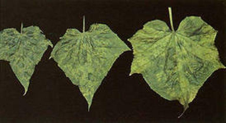 Табачная мозаика огурцов фото