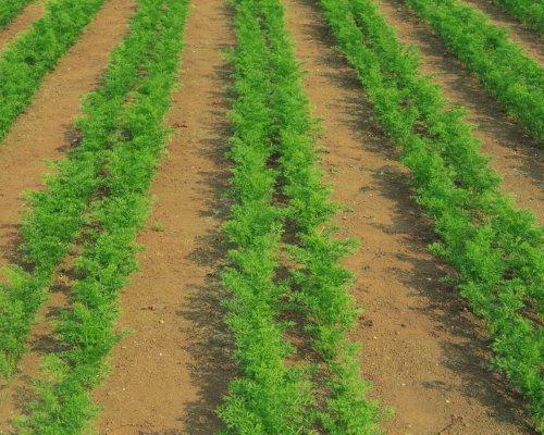 уход за морковью в открытом грунте