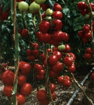 томат благовест выращивание