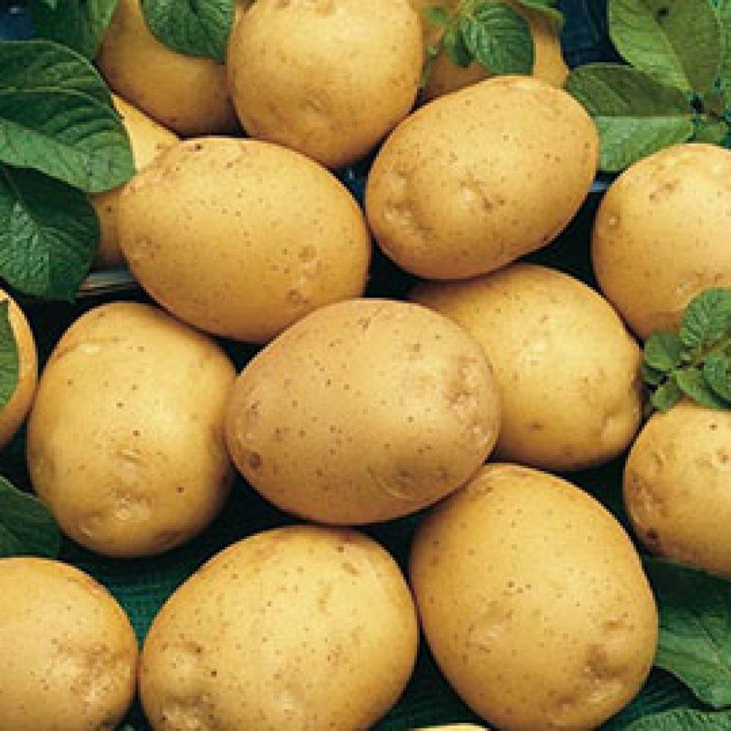 сорта с картофель фото адретта