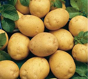 с картофель сорта фото адретта