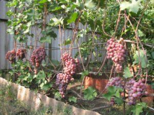 виноград сорта Фламинго