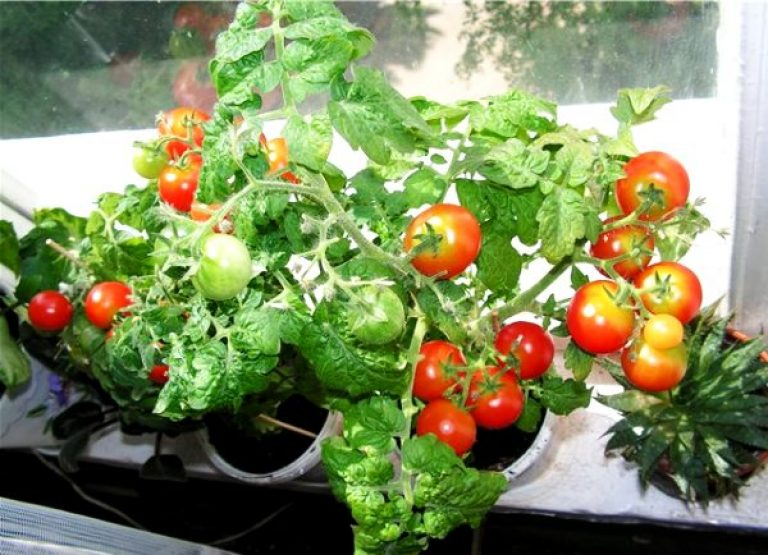 Помидоры на балконе, выращивание пошагово.