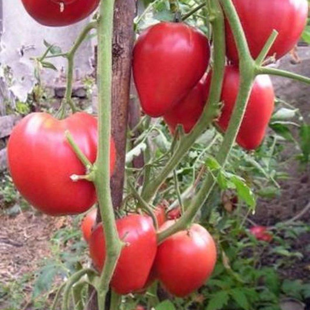 любовь томат мазарини описание сорта фото отзывы этого нужно зайти