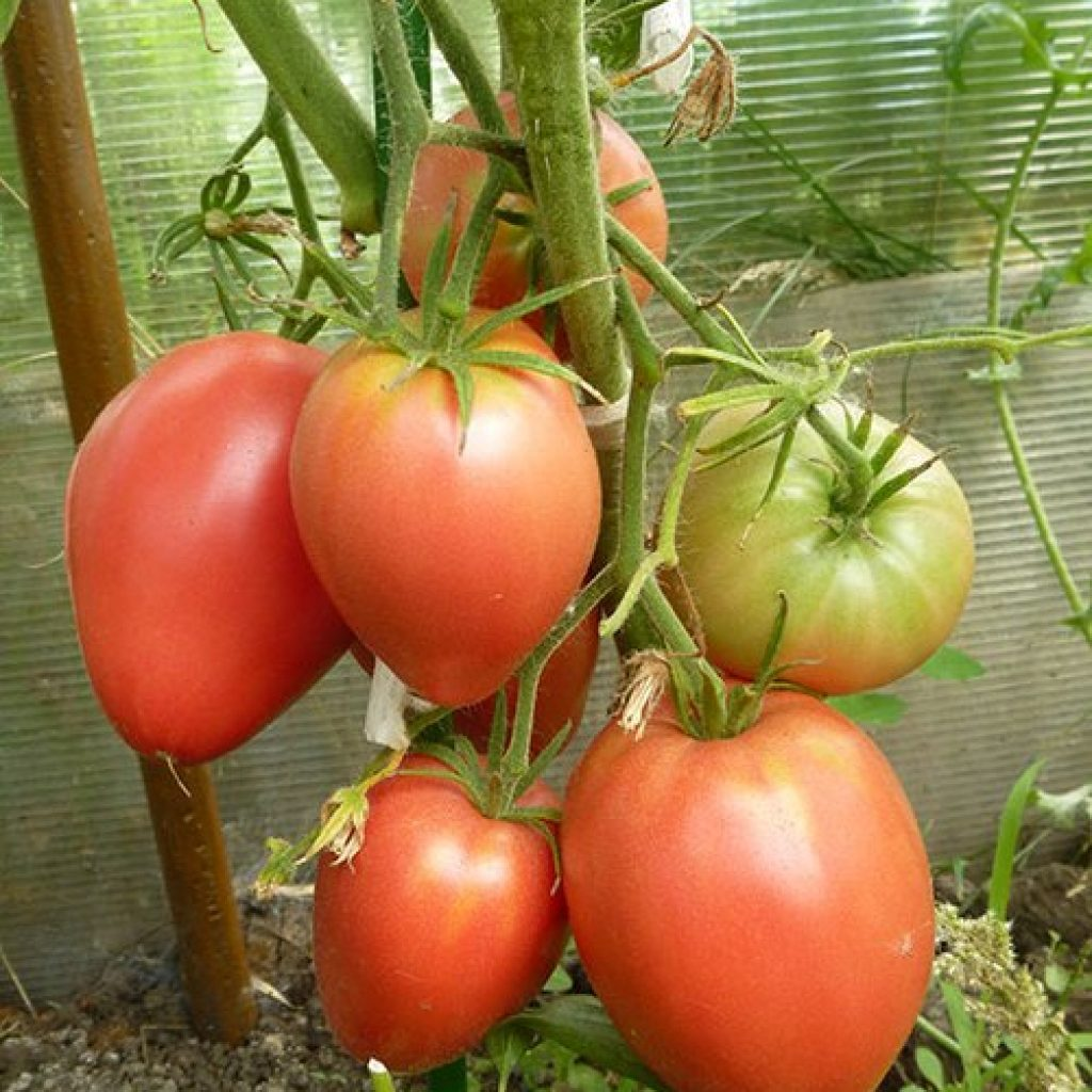 неодимовый томат мазарини описание сорта фото отзывы менеджеры покажут