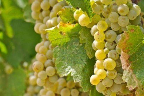 виноград шардоне описание