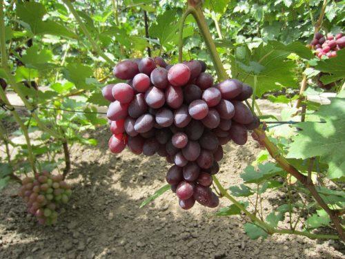 Удобрение чеснока, выращивание, подкормка весной и осенью