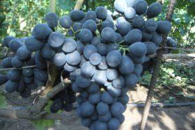 виноград ришелье отзывы описание сорта фото