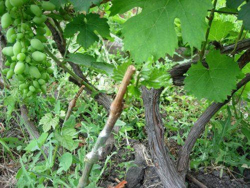 Развитие сучка замещения на винограде