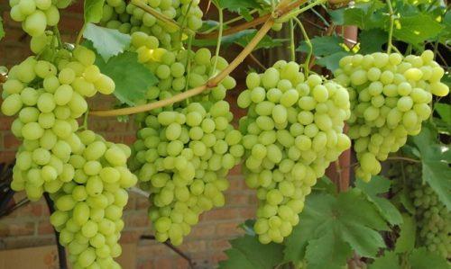 сорт винограда первозванный фото и описание отзывы