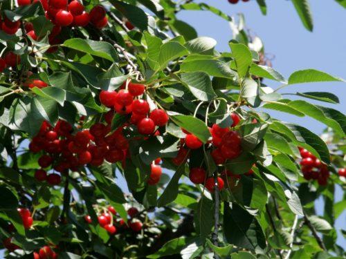 Войлочная вишня не плодоносит что делать