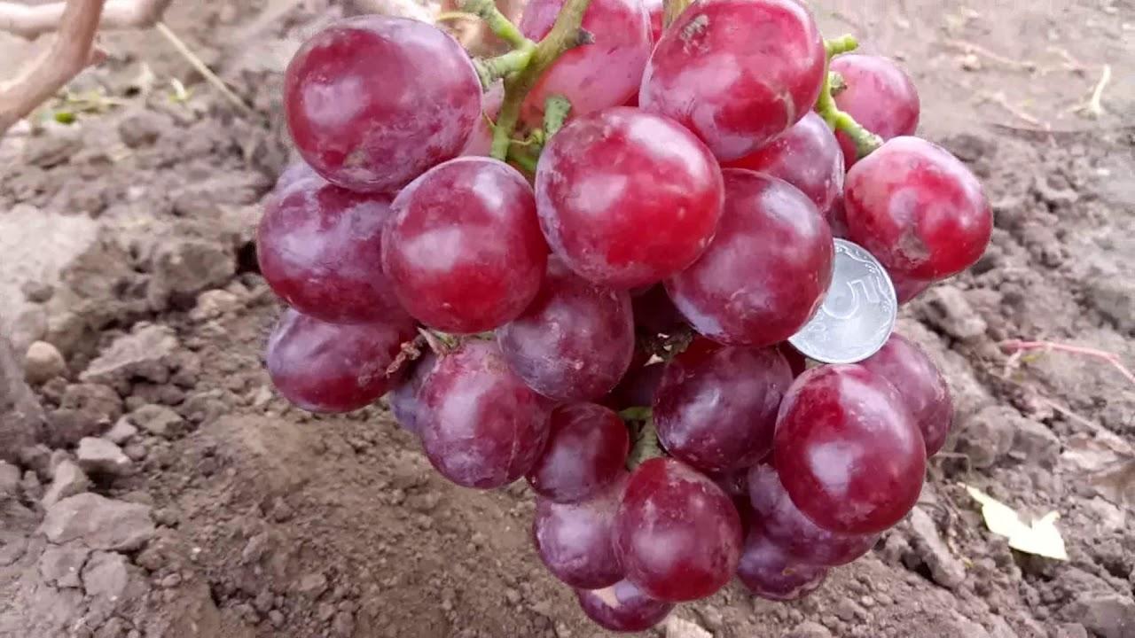 Описание сорта винограда Ред Глоб
