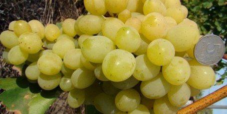 Виноград в теплицевыращивание уход и сорта винограда для